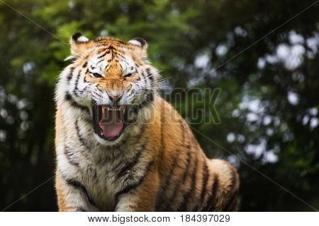 Siberian tiger bares teeth as a sign of aggression. Front view. This tiger is indigenous to far eastern Russia.