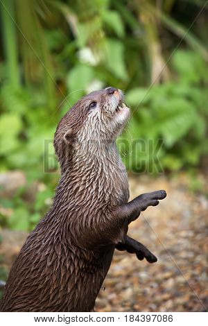 Oriental small-clawed otter standing on his hind legs. This is the smallest otter species in the world and is indigenous to the wetlands of South and Southeast Asia.