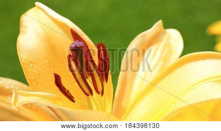 Extreme close up of a yellow lily flower. Macro shot.