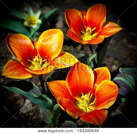 three reds with yellow tulip stripes grow on the ground in the garden, growing in the garden, against the background of brown earth, sunny weather and bright day, green leaves with purple veins,