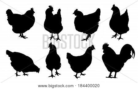 Set of realistic vector silhouettes of hens chickens and isolated on white background