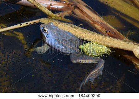Male of moor frog in spawning blue color croaking between algae and caviar in swap