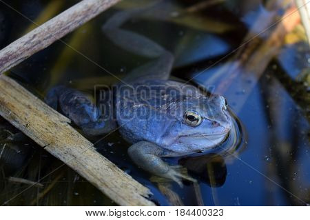 Lonely male of moor frog in spawning blue color with guarding his caviar in the shadow between water plants in swap