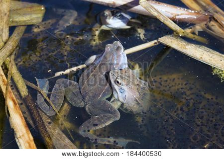 Three males of moor frog in spawning blue color between caviar and algae in swap