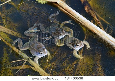 Three males of moor frog in spawning blue color guarding their caviar between water plants in swap