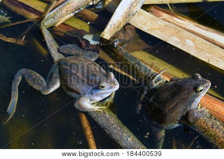 Two males of moor frog in spawning blue color between caviar and water plants in swap