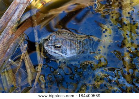 Male of moor frog in spawning blue color swimming guarding his caviar under water in swap