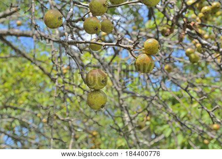 A close up of the wild pears on tree.