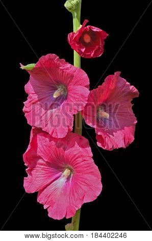 A close up of the flowers of mallow. Isolated on black.