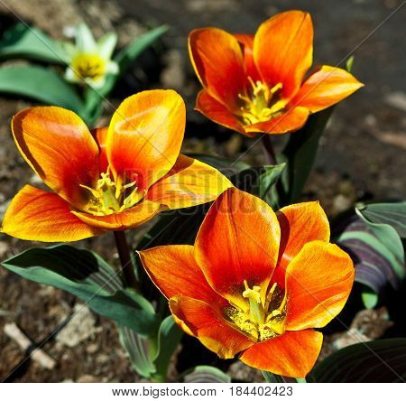 three reds with yellow tulip stripes grow on the ground in the garden, growing in the garden, against  background of the brown earth, sunny weather, bright day, green leaves with violet veins, natural