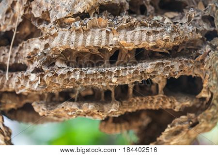 old Wasp nest .The nest of a family of wasps which is taken a close-up.