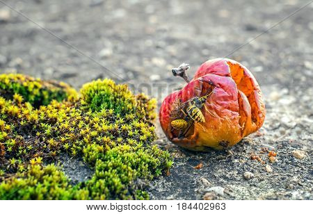 Wasps eating from a rotten apple .
