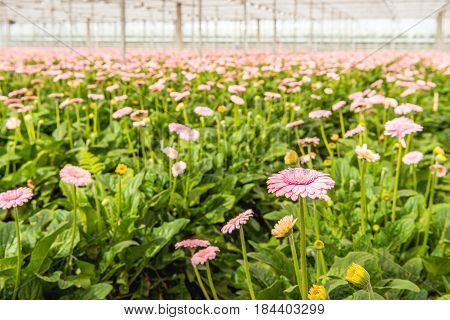 Pale pink flowering Gerbera blooms with yellow hearts in the foreground of many other budding and flowering Gerbera plants in the glasshouse of a Dutch cut flower nursery.