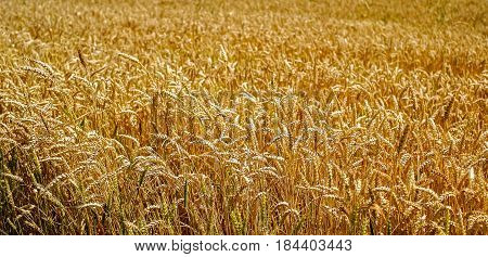 Gold wheat field lanscape, low angle .