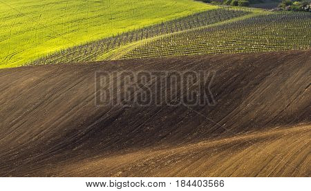 Spring wavy landscape with green and brown field and vineyard