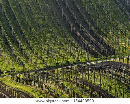 Spring landscape with vineyards in the evening.