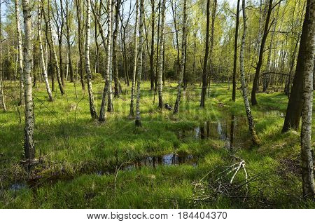 A nature reserve with birch trees and a marsh among green grass