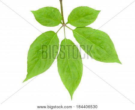 A close up of the leaf of the most famous medicinal plant ginseng (Panax ginseng). Isolated on white.