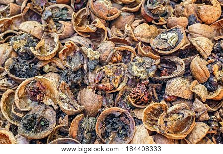 Cracked rotten nuts infected with mold .