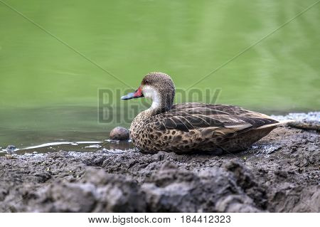 White-cheeked Pintail Duck Sitting by a Pond in the Highlands of Santa Cruz Galapagos Islands
