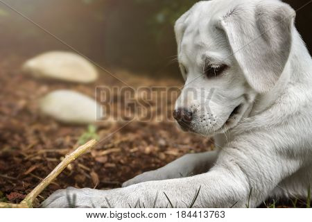 young cute labrador retriever dog puppy play with a wooden stick