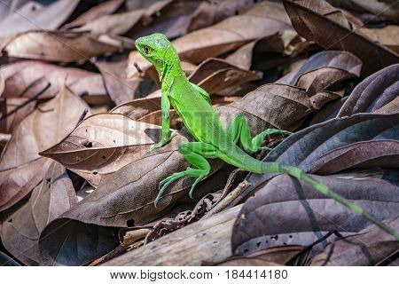 Close up of green lizard over brown leafs in Corcovado park, Costa Rica