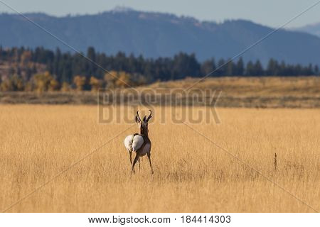 a pronghorn buck during the fall rut in Wyoming