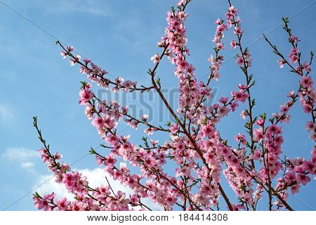 Plum blossoms in early spring on cloudy sky