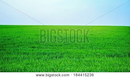 Spring green field with clear blue sky