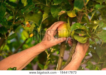Senior hand picking apple. Branch with leaves and fruit.