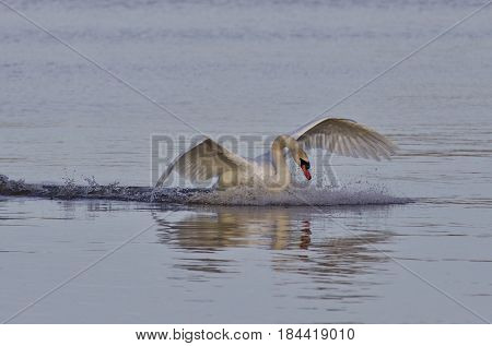 Beautiful Image With A Powerful Swan's Landing