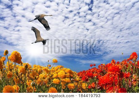 Two large birds flying high in the cirrus clouds. The southern sun illuminates the flower fields of buttercups. The concept of ecological and recreational tourism