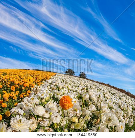 The magnificent blossoming fields of garden buttercups. Concept of rural tourism. Cirrus clouds over the floral splendor