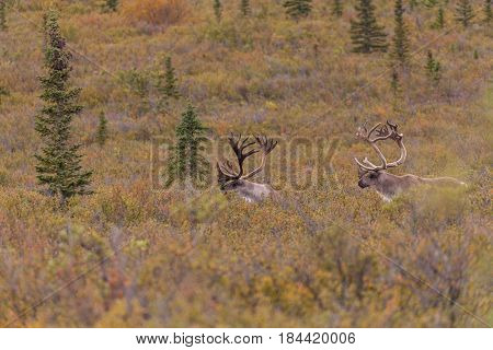 barren ground caribou bulls in velvet  in Denali National Park Alaska