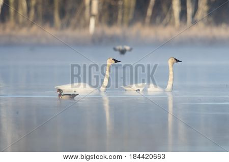 A pair of Swans on a wetland on a misty morning