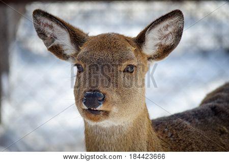 Closeup of a female white-tailed deer, Odocoileus virginianus