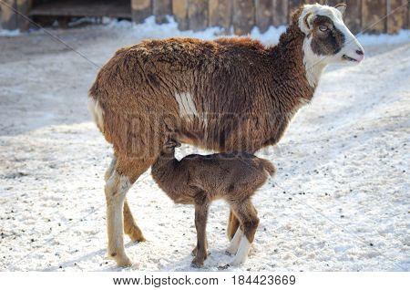 Female Bighorn Sheep feeding a newborn lamb