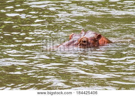 In the water of a river a dangerous hippopotamus