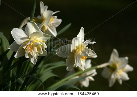 Spring. Blossoming narcissuses. Difficult buds under the form with white and yellow petals. A dark background.