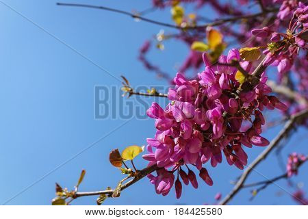 Closed up of pink Judas Judasbaum (Cercis siliquastrum) flowers sprouts in daylight blue sky.