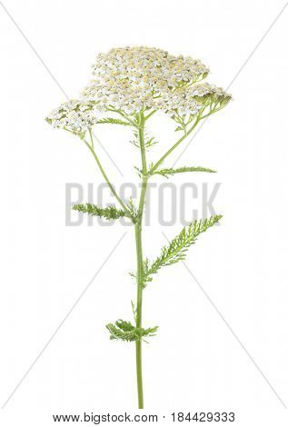 Yarrow (Achillea millefolium) flower isolated on white background. studio shot