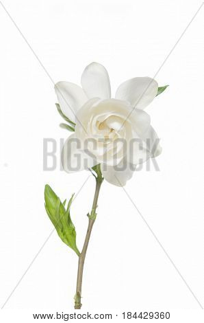 White flower and clipping path Gardenia