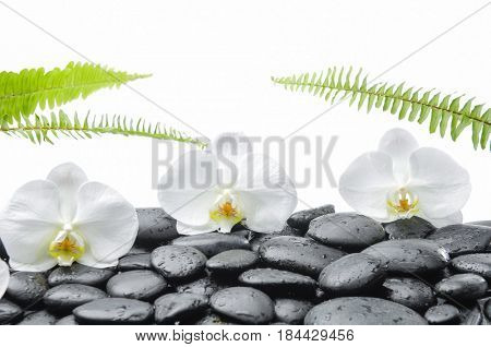 Three white orchid blossom with wet black stones ,ferm on wet background