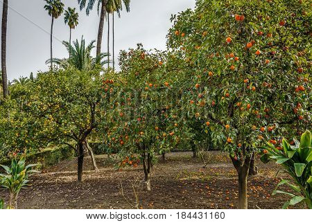 Orange and lemon trees in garden in Alcazar of Seville Spain