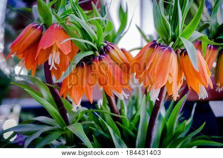 Fritillaria Imperialis Rubra Maxima. Crown Imperial. Summer flowers.