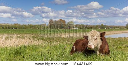 Panorama of a Hereford cow in the grassland outside Groningen The Netherlands