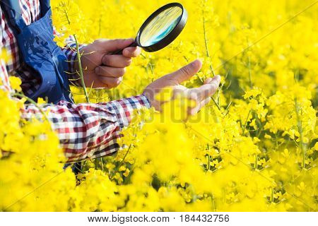 Farmer Inspecting yellow  rapeseed on the field