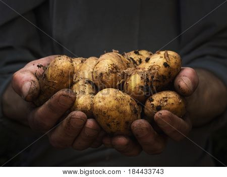Close up of male hands holding pile of potatoes