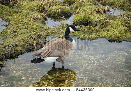 Canada goose (Branta canadensis) in tidal pools on charles island at lowtide in long island sound to Silver Sands State Park in Milford Connecticut.