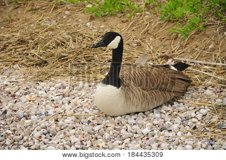 Canada goose (Branta canadensis) nesting on seashells on charles island at lowtide in long island sound to Silver Sands State Park in Milford Connecticut.